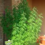 Abonos de crecimiento para marihuana