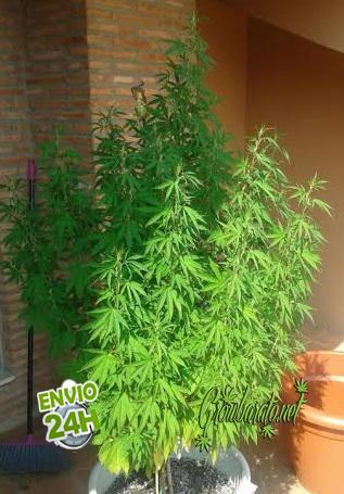 571c0277c Abonos naturales de crecimiento para marihuana - GrowBarato