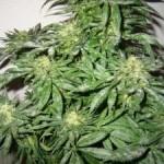 Llega el Verano y las plagas a la marihuana