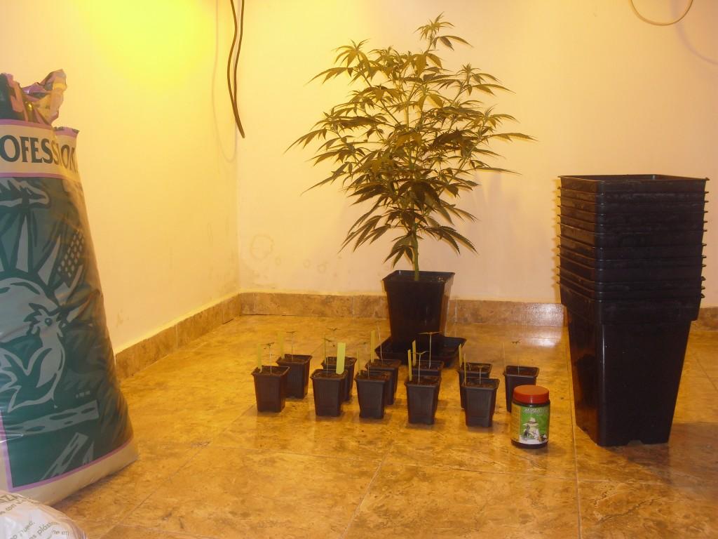 Extreme Autoflowering Indoor Grows - Growbarato Blog