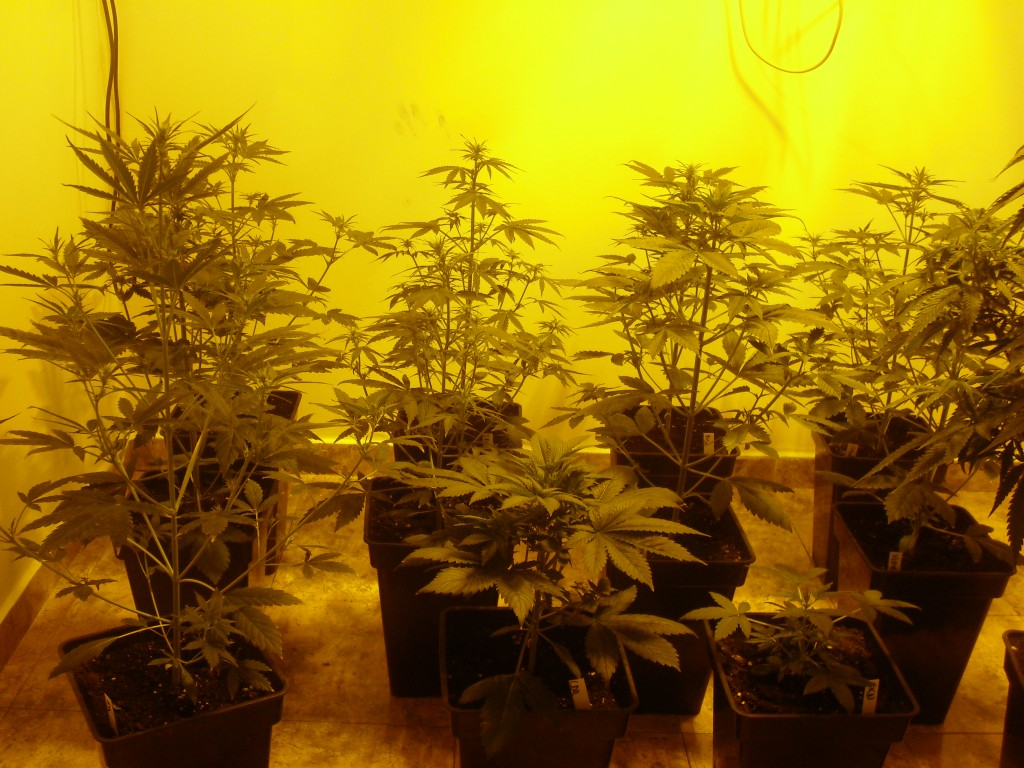 Extreme Autoflowering Indoor Grows - Growbarato Blog