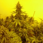 Cultivo Extremo de autoflorecientes en interior