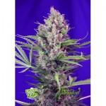 13 variedades de marihuana exquisitas