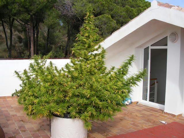 Gu a de cultivo de marihuana para novatos for Plantas marihuana interior