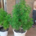 Guía de cultivo de marihuana para novatos