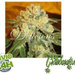 13 variétés exquises de cannabis