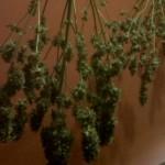 El secado y curado de cogollos de cannabis