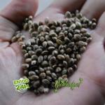 Consigue semillas gratis de marihuana