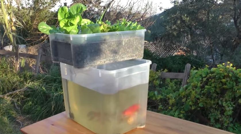 Acuaponia el hidroponico organico for Construccion de estanques para tilapia