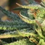 Proxima generación de cannabis medicinal