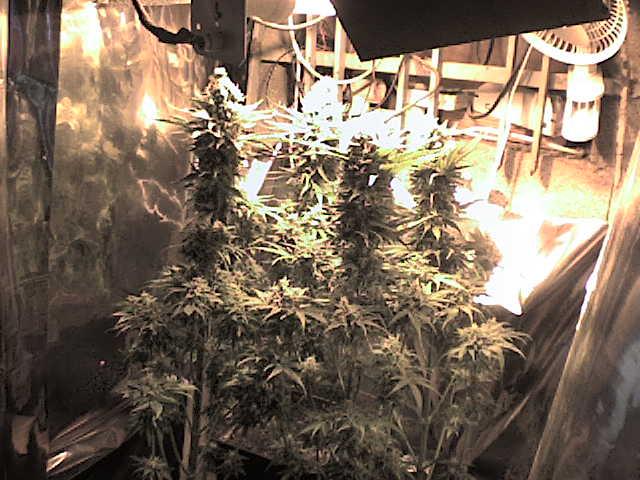 Iniciarse en el cultivo interior blog de grow barato - Cultivo interior led ...