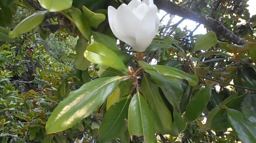 Las plantas amigas del cultivador - Magnolia planta cuidados ...