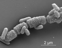 bacillus mega no se que