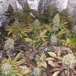 Producir cannabis medicinal en España