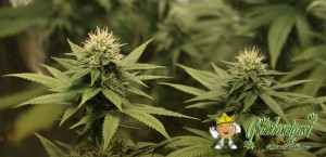 Cannabis medicinal para sus hijos