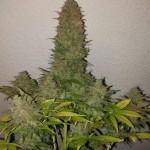 Como aumentar la producción de marihuana