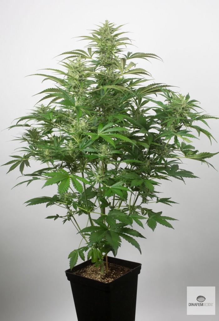 Properties of CBD-rich Cannabis
