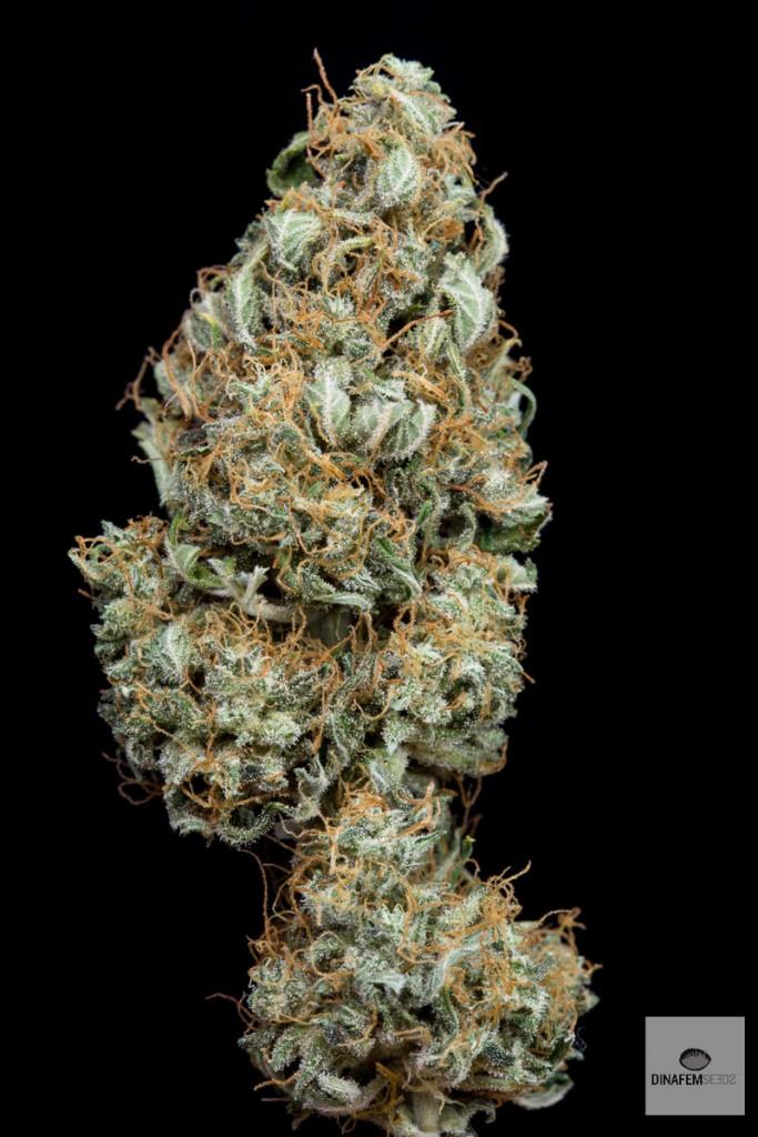 Propiedades de la marihuana rica en CBD