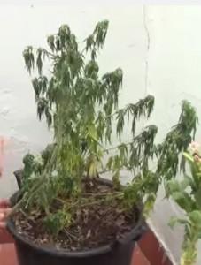 tipos hongos en la marihuana foto de fusarium