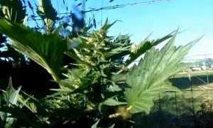 Cannabis Mutations