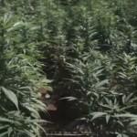 Cannabis en los areopuertos de Jamaica