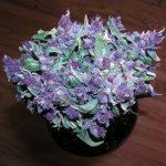 The Best Purple Marijuana