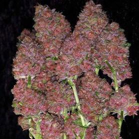 The best marijuana in the world