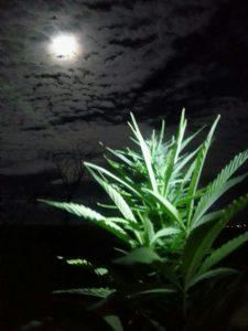 Calendario Lunar Cannabico 2019 Espana.Para Que Sirve El Calendario Lunar De Marihuana Blog De Growbarato