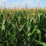 Se puede plantar autoflorecientes en maíz