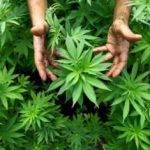 La marihuana, mucho más que una planta para fumar