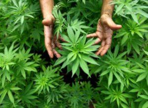 marihuana como planta medicinal
