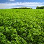 Cannabis para tratar el cáncer