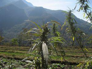 foto de planta de cannabis sativa