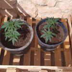 Consejos sobre cómo cultivar marihuana en exterior