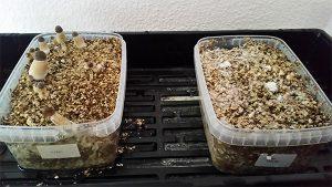 Magic mushroom kits at Growbarato - Growbarato - Blog