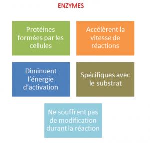 les enzymes et leurs actions