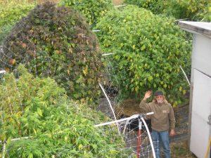 plantas de marihuana gigantescas foto de jorge cervantes