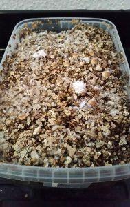 magic mushroom mycelum