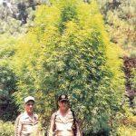 Plantas de marihuana gigantescas