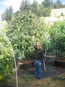 plantas de marihuana gigantescas foto de planta gigante