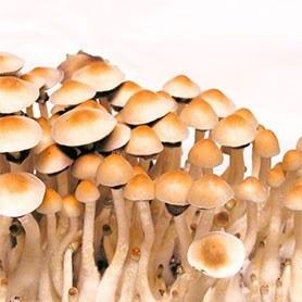 mexican mushrooms