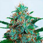Le meilleur Cannabis au monde (…ou pas.)