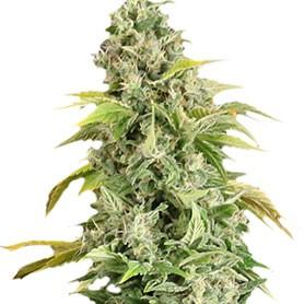 semillas de marihuana gratis de apex seeds foto de arafa