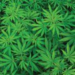 Importancia de las hojas en la marihuana