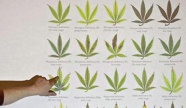 Nutrient Deficiencies in Cannabis - Growbarato Blog