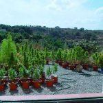 Basic Outdoor Marijuana Growing