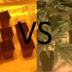Cannabis Seeds VS Clones