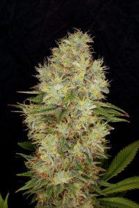 propiedades de los cannabinoides