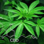 L'origine des cannabinoïdes