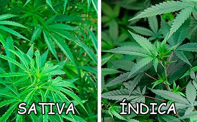 Sativa O índica Las Diferencias Entre Ambas Plantas